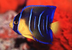 Queen Angelfish